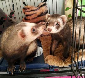 couple de furets à adopter